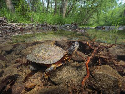 https://imgc.artprintimages.com/img/print/wood-turtle-clemys-insculpta-forages-for-food-in-a-mountain-stream_u-l-p8fhwl0.jpg?p=0