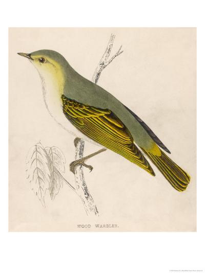 Wood Warbler-Reverend Francis O^ Morris-Giclee Print