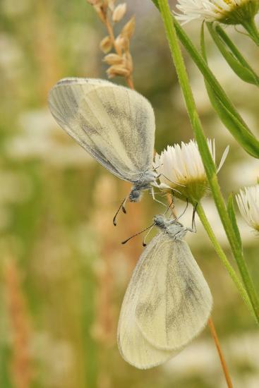 Wood White Butterflies, Two, Mating-Harald Kroiss-Photographic Print
