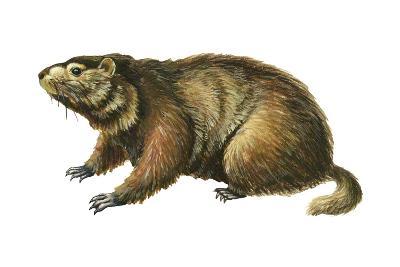 Woodchuck (Marmota Monax), Mammals-Encyclopaedia Britannica-Art Print