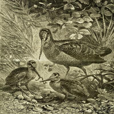 Woodcock Austria 1891--Giclee Print
