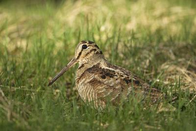 Woodcock (Scolopax Rusticola) Adult in Spring, Scotland, UK, April-Mark Hamblin-Photographic Print