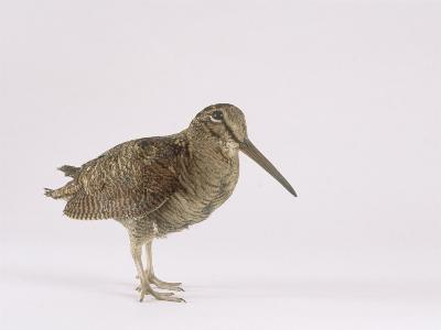 Woodcock, St. Tiggywinkles, UK-Les Stocker-Photographic Print