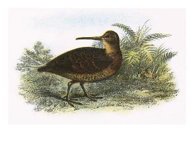 Woodcock-English-Giclee Print