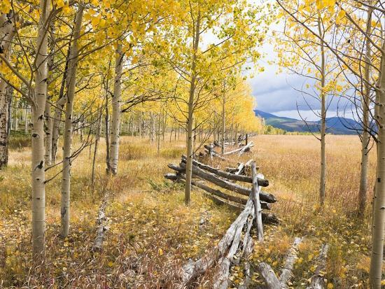 Wooden fence and Aspen forest in autumn-Frank Lukasseck-Photographic Print