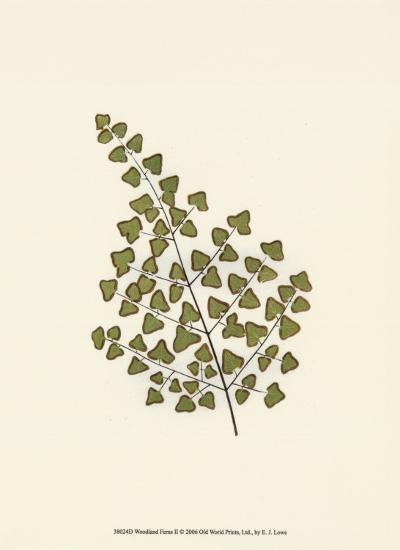 Woodland Ferns II-Edward Lowe-Art Print