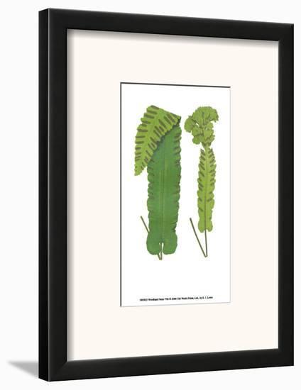 Woodland Ferns VIII-Edward Lowe-Framed Art Print