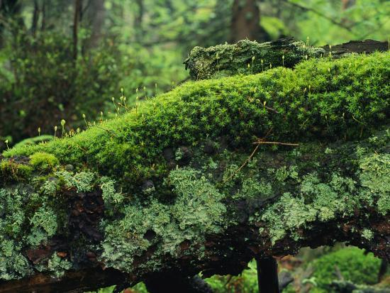 Woodland Mosses-Norbert Rosing-Photographic Print