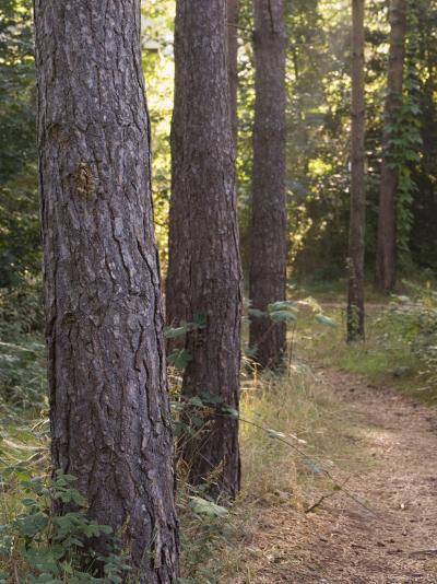 Woodland Path Trough Scots Pine Trees, Pinus Sylvestris, Norfolk, England-Amanda Hall-Photographic Print