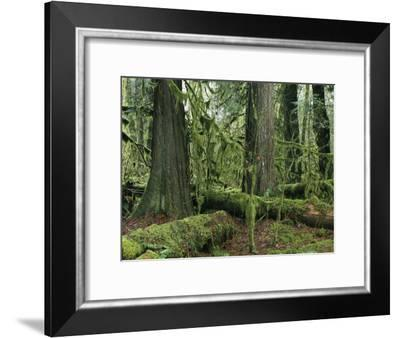 Woodland View of Evergreens and Tree Trunks Covered in Moss-Klaus Nigge-Framed Photographic Print