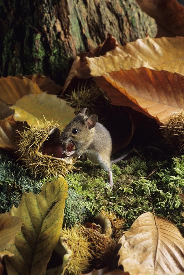 Woodmouse Eating a Chestnut-David Aubrey-Photographic Print