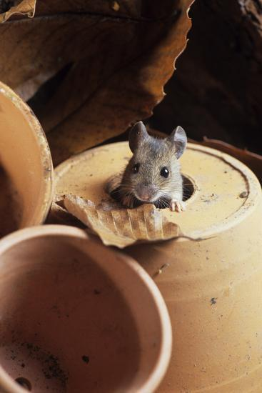 Woodmouse Peeering Out of a Flowerpot-David Aubrey-Photographic Print