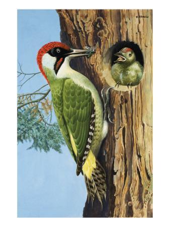 https://imgc.artprintimages.com/img/print/woodpecker_u-l-pciwoa0.jpg?p=0