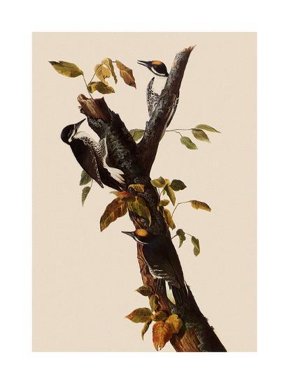 Woodpeckers-John James Audubon-Giclee Print