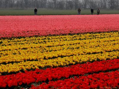 Workers amidst Fields of Tulips and Daffodils near Sint Maartensvlotbrug, Netherlands-Peter Dejong-Photographic Print