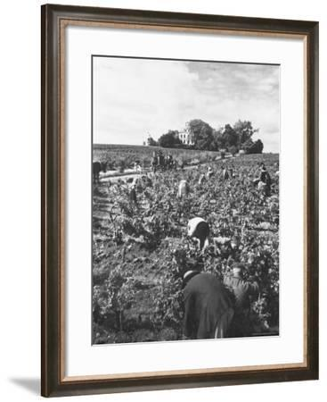 Workers During the Harvest Season Picking Grapes by Hand in the Field For the Wine-Thomas D^ Mcavoy-Framed Photographic Print