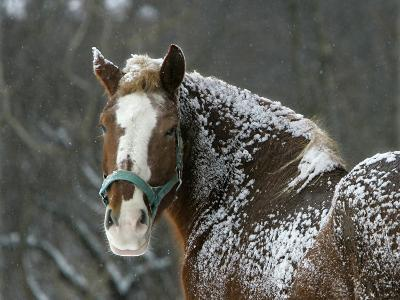 Workhorse Braves the Snow and Falling Temperatures at a Farm in Bainbridge Township, Ohio--Photographic Print