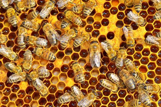 Working Bees on Honeycells-mady70-Photographic Print