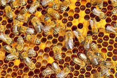 https://imgc.artprintimages.com/img/print/working-bees-on-honeycells_u-l-q105ehr0.jpg?p=0