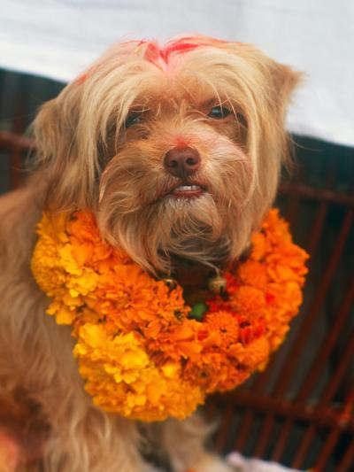 Worship of the Dog, Tihar Festival, Katmandu, Nepal--Photographic Print