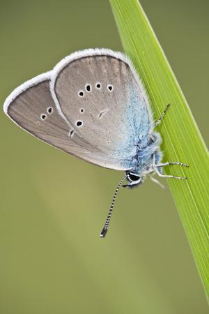 Blue Butterfly (Lycaenidae Sp) on Blade of Grass, Eastern Slovakia, Europe, June 2009
