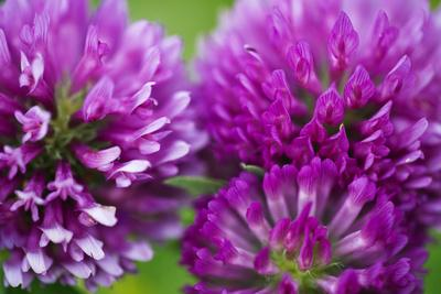 Close-Up of Red Clover (Trifolium Pratense) Flowers, Eastern Slovakia, Europe, June 2009