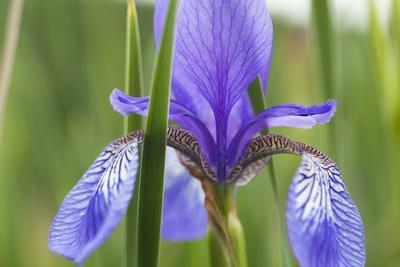 Close-Up of Siberian Iris (Iris Sibirica) Flower, Eastern Slovakia, Europe, June 2009