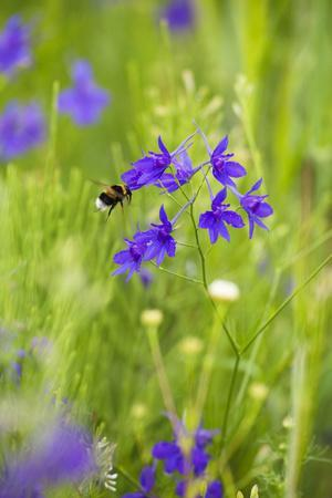 Field Larkspur (Consolida Regalis - Delphinium Consolida) with Bumble Bee Flying by, Slovakia