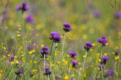 Flowering Meadow with Thistles (Cirsium Rivulare) and Buttercups (Ranunculus) Poloniny Np, Slovakia