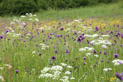 Flowering Meadow with Thistles (Cirsium Rivulare) Poloniny Np, Western Carpathians, Slovakia