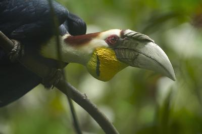 Wreathed Hornbill Looking Out Curiously, Sabah, Malaysia-Tim Fitzharris-Photographic Print