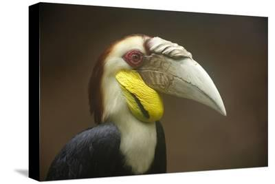 Wreathed Hornbill male, Malaysia-Tim Fitzharris-Stretched Canvas Print