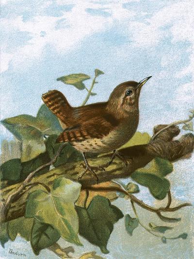 Wren-English-Giclee Print