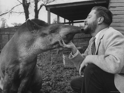 Writer/Naturalist Gerald Durrell Petting South American Tapir in His Private Zoo on Isle of Jersey-Loomis Dean-Photographic Print