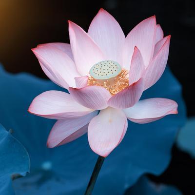 Lotus Flower Blooming on Pond