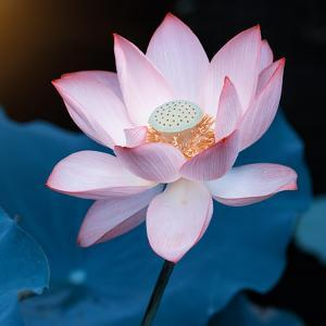 Lotus Flower Blooming on Pond by Wu Kailiang