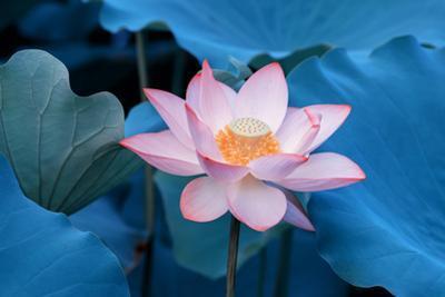 Lotus Flower by Wu Kailiang