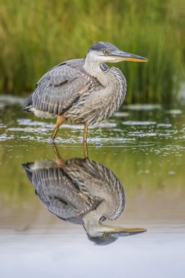 Wyoming, a Juvenile Great Blue Heron Forages for Food in a Calm Pond with Full Reflection-Elizabeth Boehm-Photographic Print