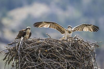 Wyoming, a Young Osprey Flaps it's Wings in Preparation for Fledging as Adult Looks On-Elizabeth Boehm-Photographic Print