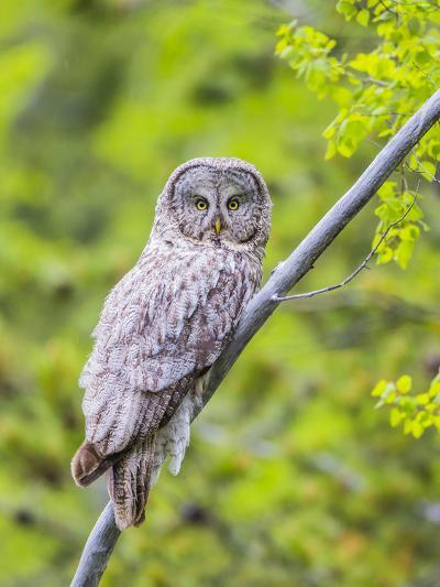 Wyoming, Grand Teton National Park, an Adult Great Gray Owl Roosts on a Branch-Elizabeth Boehm-Photographic Print