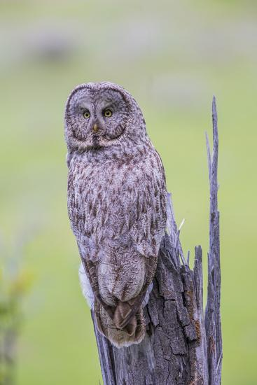 Wyoming, Grand Teton National Park, an Adult Great Gray Owl Sits on a Stump-Elizabeth Boehm-Photographic Print