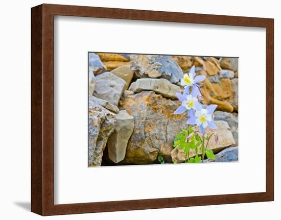 Wyoming, Grand Teton National Park, Close Up of Colorado Columbine Blooming-Elizabeth Boehm-Framed Photographic Print