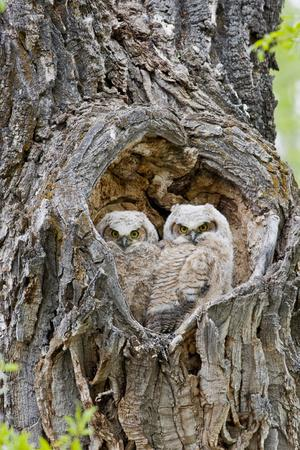 https://imgc.artprintimages.com/img/print/wyoming-grand-teton-national-park-great-horned-owlets-in-nest-cavity_u-l-pxrsnw0.jpg?p=0