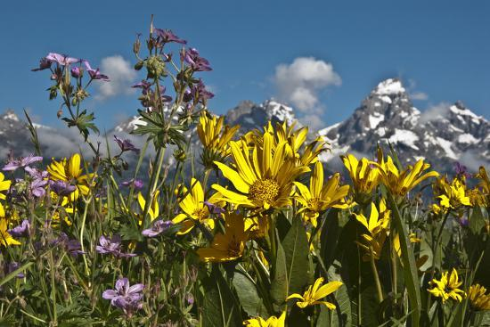 Wyoming, Grand Teton National Park. Mule's Ear and Sticky Geranium-Judith Zimmerman-Photographic Print