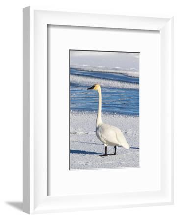 Wyoming, Jackson Hole, Flat Creek. Adult Trumpeter Swan-Elizabeth Boehm-Framed Photographic Print