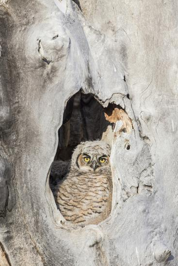 Wyoming, Lincoln Co, Great Horned Owl Nestling Peering from Nest-Elizabeth Boehm-Photographic Print
