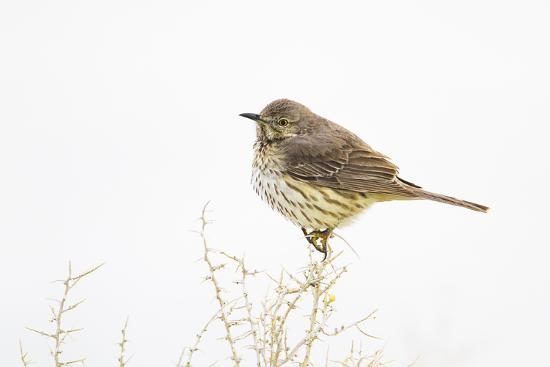 Wyoming, Lincoln County, Sage Thrasher Roosting on Bush-Elizabeth Boehm-Photographic Print