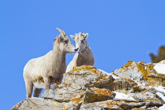 Wyoming, National Elk Refuge, Bighorn Sheep and Lamb Nuzzling-Elizabeth Boehm-Photographic Print