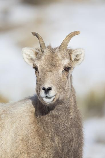 Wyoming, National Elk Refuge, Bighorn Sheep Ewe Portrait-Elizabeth Boehm-Photographic Print