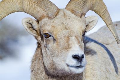 https://imgc.artprintimages.com/img/print/wyoming-national-elk-refuge-bighorn-sheep-ram-headshot_u-l-pu3lf20.jpg?p=0